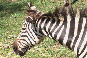 zoo-zebra.jpg
