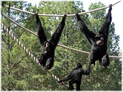 apes.jpg