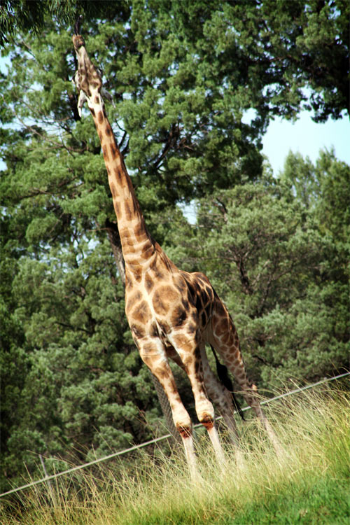 Giraffe at the Dubbo Western Plains Zoo